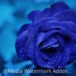 rose-blue-flower-rose-blooms-67636-6