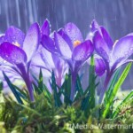spring-flowers-blue-crocuses-drops-water-backgro-background-tracks-rain-113784722